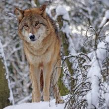 На Гомельщине отмечается большая проблема с количеством волков