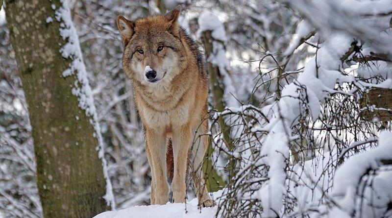 Популяция волка