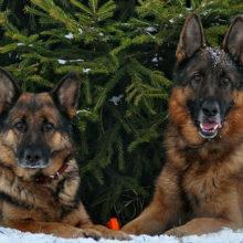 Собаки против выбрасывания елки. Видео набрало 23 млн просмотров