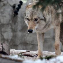 В городском поселке Брагинского района волк напал на людей