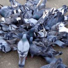 Дмитрий Перс: Оппозиционная голубятня в борьбе за польские крошки