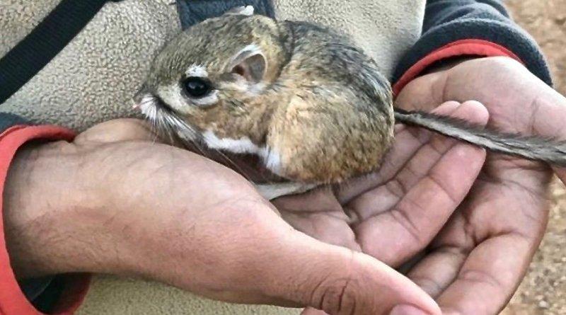 Крыса кенгуровая санквентинская