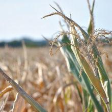 На Гомельщине из-за засухи погибло около 58.000 га сельхозкультур