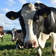 В хозяйстве под Веткой умерло 300 коров, директор под следствием