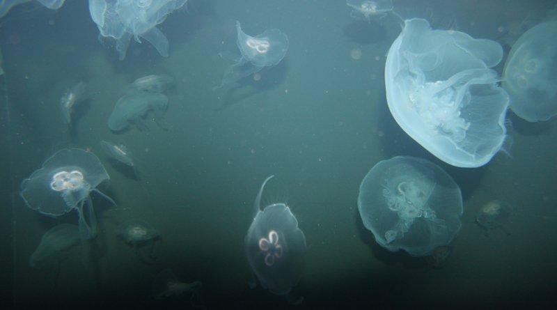 на Гребном канале завелись медузы.jpg