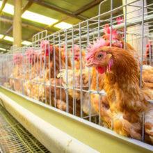 Беларусь откроет новые мясокомбинаты и птицефабрики для поставок в КНР