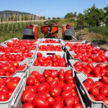 Парень похитил две тонны помидоров в Азделино и продавал в Гомеле