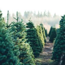 Сколько будут стоить натуральные елки в этом году?