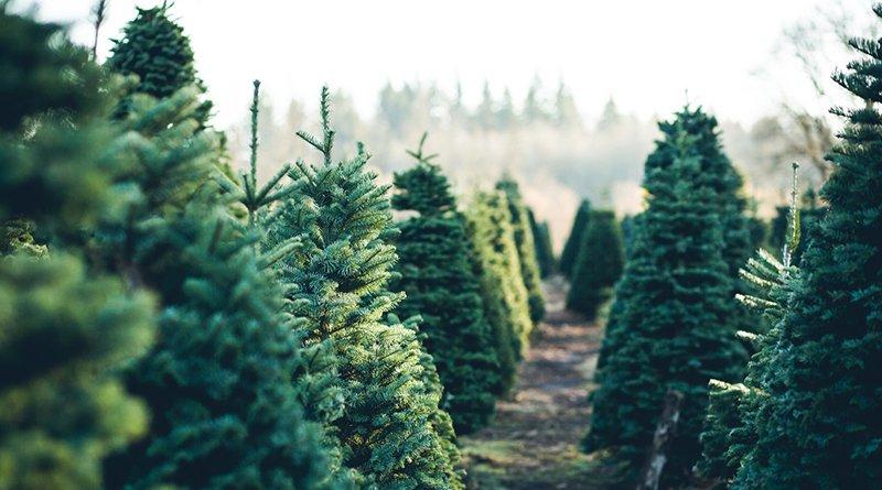 Сколько будут стоить натуральные елки