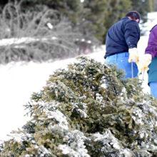 Лесничие предупреждают жителей области о крупных штрафах за срубленную ель