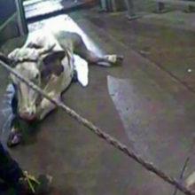Мясо больных коров из Польши попало в десять стран