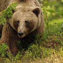 Трехлетнего мальчика пропавшего в лесу спас медведь