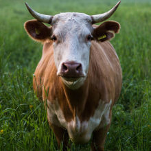 Беларусь ограничивает ввоз скота из Польши из-за коровьего бешенства