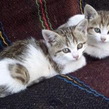 В Ченках объявлен карантин из-за двух бешеных котят