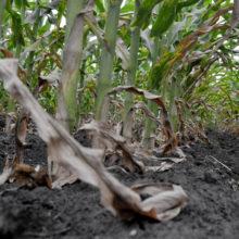В Гомельской области из-за аномальной жары гибнет урожай