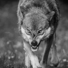 Волки держат в страхе белорусскую деревню