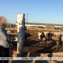 В Жлобинском районе раскрыта кража молодняка крупного рогатого скота