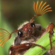 Фотофакт: в Гомеле в декабре появился майский жук