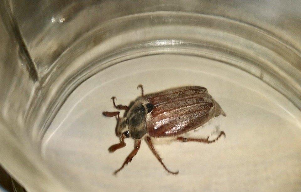 майский жук в декабре