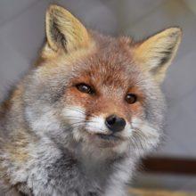 В Чечерске из-за бешеной лисы ввели карантин