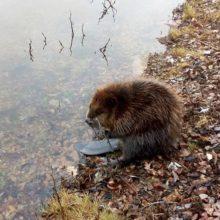 В Гомеле на Любенском озере замечен молодой бобер