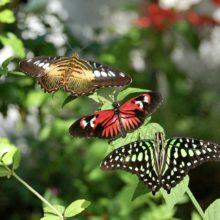 В Гомель прилетят тропические бабочки