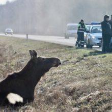 ДТП в Гомельском районе: легковушка сбила лося